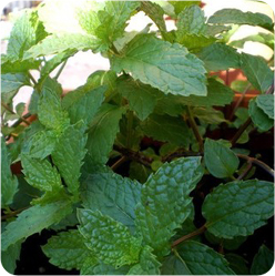 mint_plant.jpg