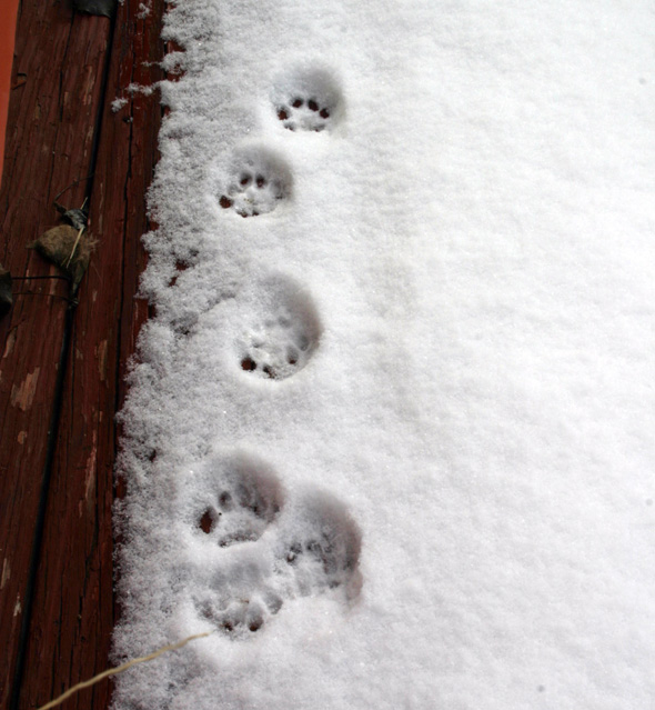 cat snow prints