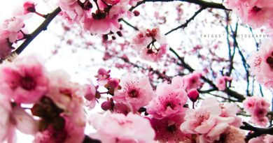 flowering tree photograph by twiggs